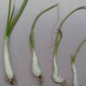 glyphosate on onion (note prominant swelling of leaf sheaths)